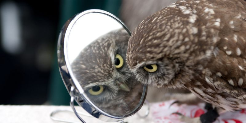 Сова смотрит в зеркало